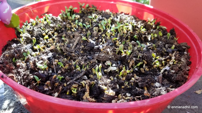 Fenugreek seedlings