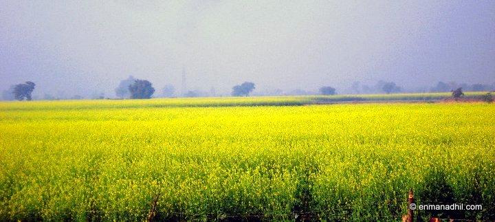 Mustard Fields India