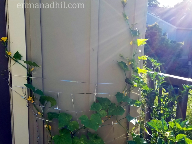 cucumber vine on a trellis