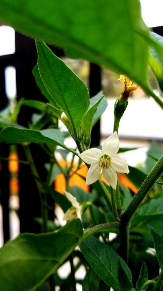 Hot Pepper Flower