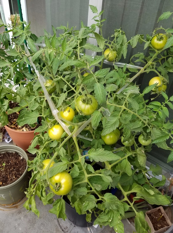 Plant Laden with Tomatoes