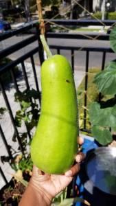 Lauki Sorakkai Opo Squash Organic Balcony